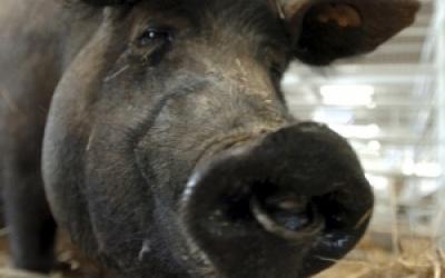 Il porco: storia, religione e simbologia